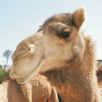 Camelo Pacato